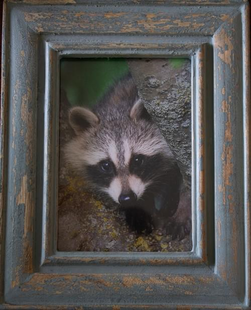 Raccoon Peek-a-Boo, 5x7, in distressed blue frame