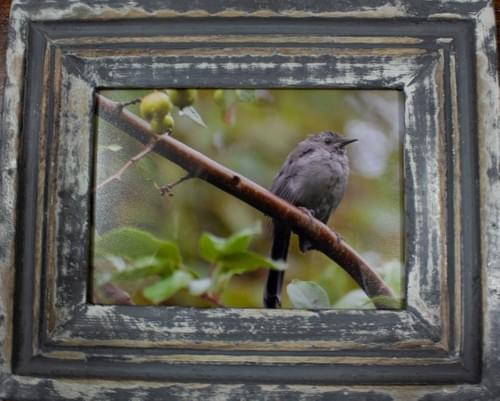 Eastern Phoebe, 5x7, in distressed grey frame