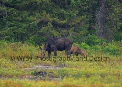 Moose Cow Calf, Notecard