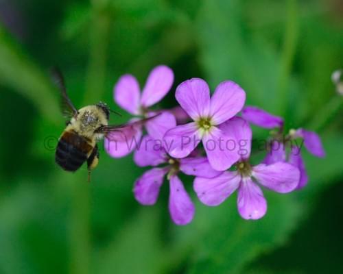 Bee on Purple Flower, Canvas