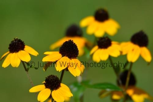 Branched Rudbeckia, Canvas