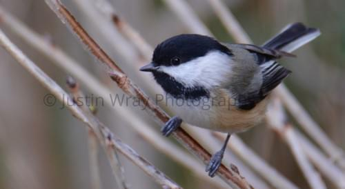 Chickadee, Prints