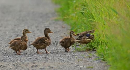 Ducks Follow the Leader, Notecard