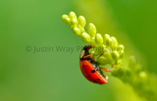 Ladybug Yellow Green, Large Print