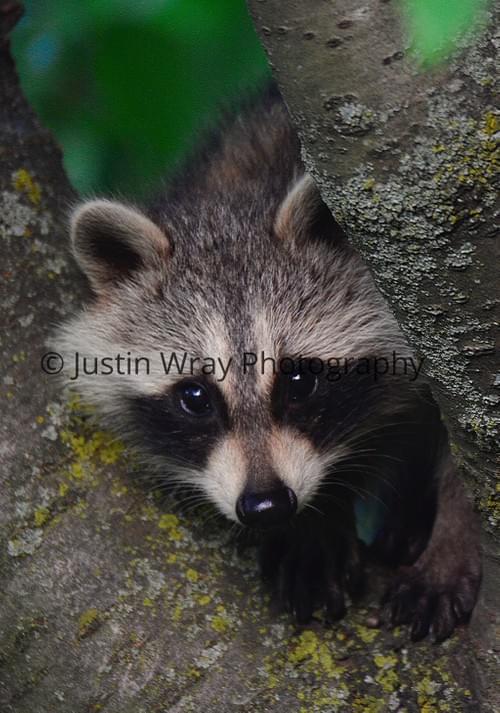 Raccoon Peek-a-Boo, Notecard