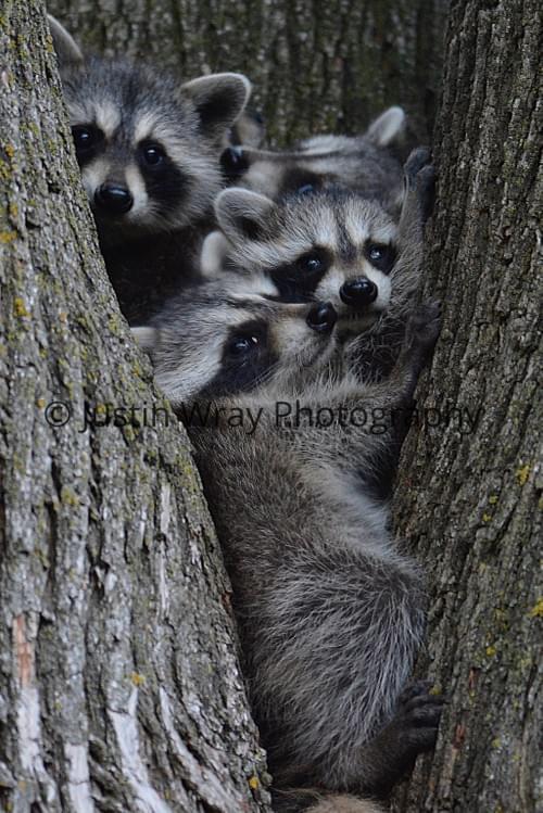 Raccoon Family, Large Prints