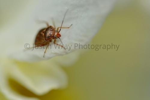 Bug on White Petal, Prints