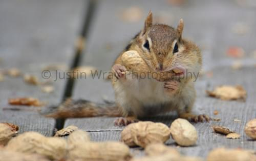 Chipmunk Cheeks, Notecard