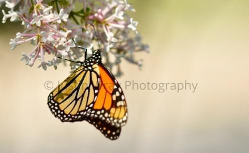 Monarch Milkweed, Prints