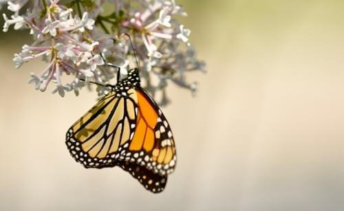 Monarch Milkweed, Notecard