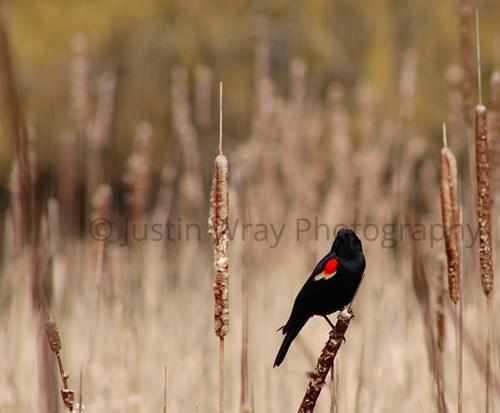 Red-Winged Blackbird, Canvas