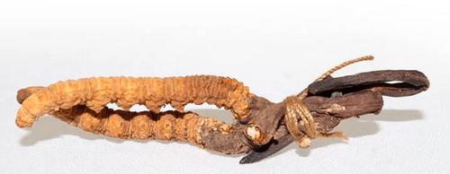 Cordyceps C+