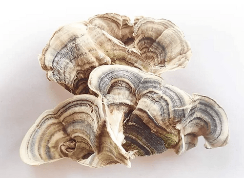 Turkey Tail PSP 50