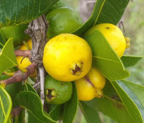 Araça do cerrado ( Pisidium laruotteanum )