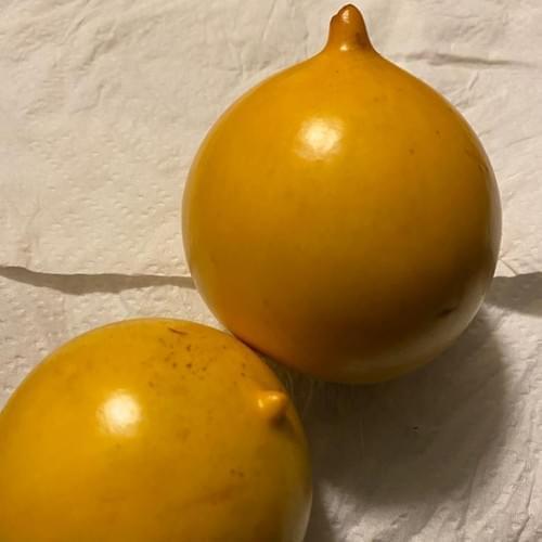4 Abiu seeds ( Sapotaceae - Pouteria caimito )