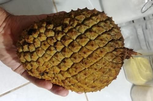 Duguetia surinamensis