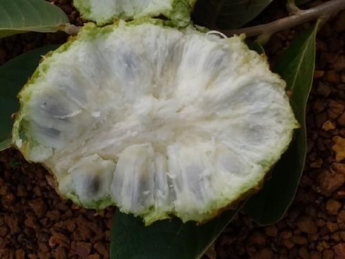 Araticum de moita ( Annona dioica )