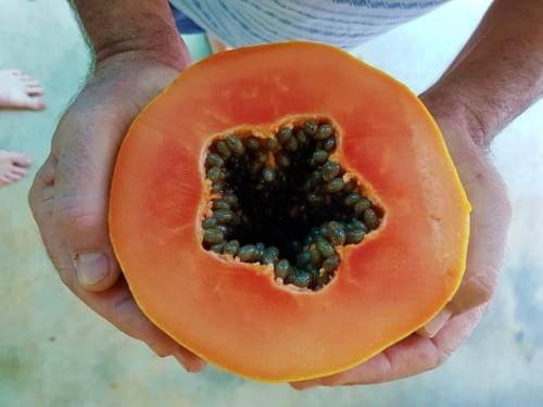 Broadleaf Papaya ( Carica papaya )
