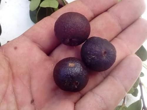 Psidium parvifolium