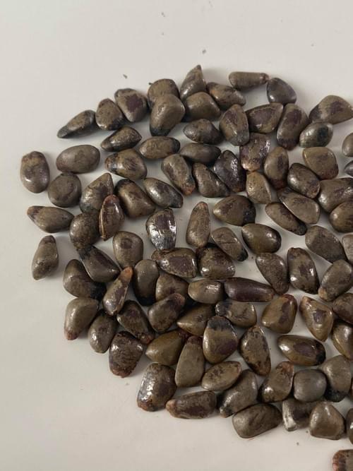 Araticum-de-cipó ( Annona sp Amazonas )