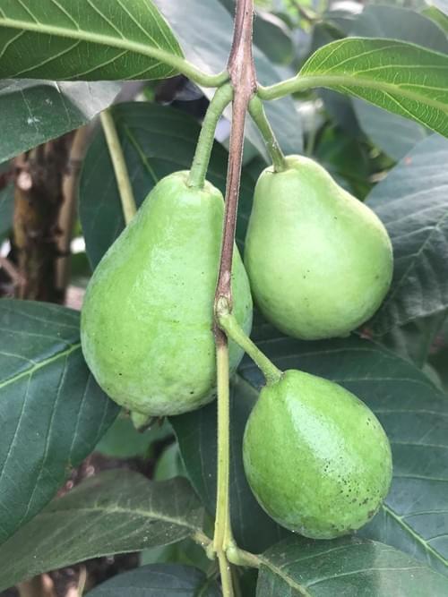 White Pear Guava  ( Psidium guajava )