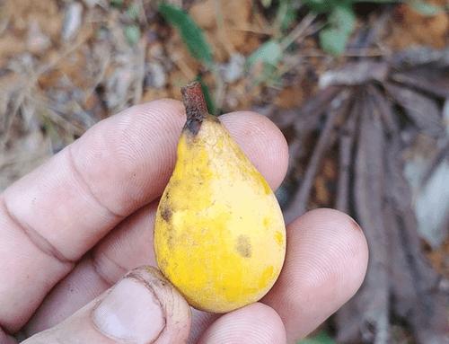 "Pouteria sp ""Pera "" _Sapotaceae (1 germinted seed )"