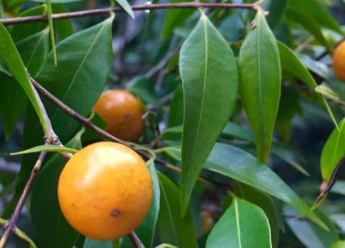 """Myrciaria floribunda var  """"Orange """""""