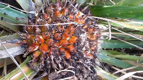 Caraguatá flor grande (Bromelia grandiflora)