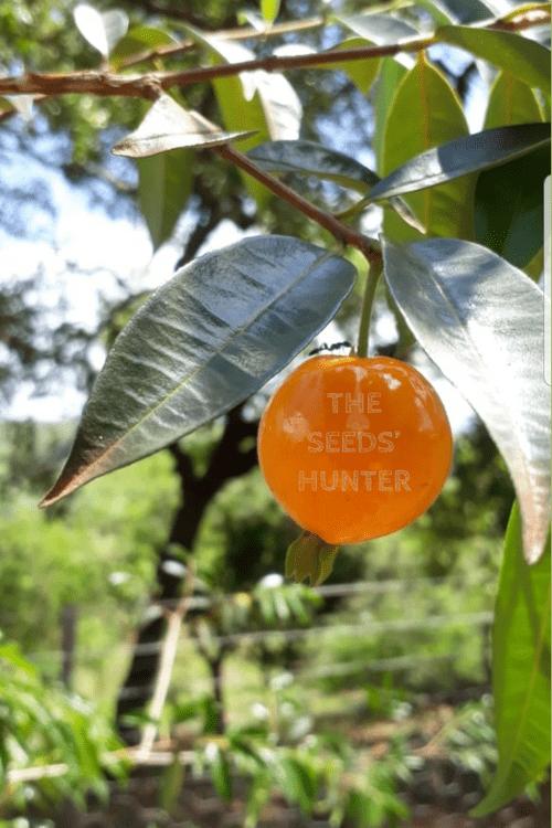 Pitanga laranja do Cerrado ( Eugenia aff. glandulosa )