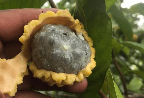 Duguetia sp Amazonia
