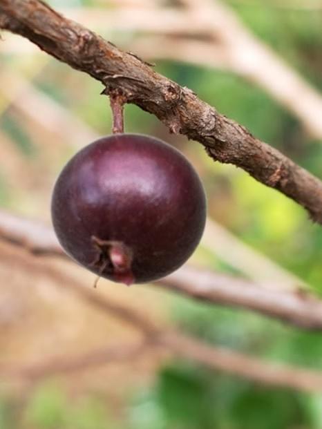 Dwarf jaboticaba (Plinia nana )