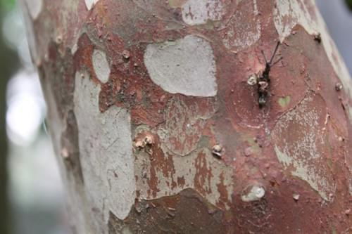 Plinia sp tronco vermelho ( from Vilella's collection )