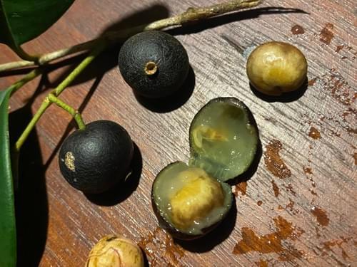 Myrcia eugeniopsoides