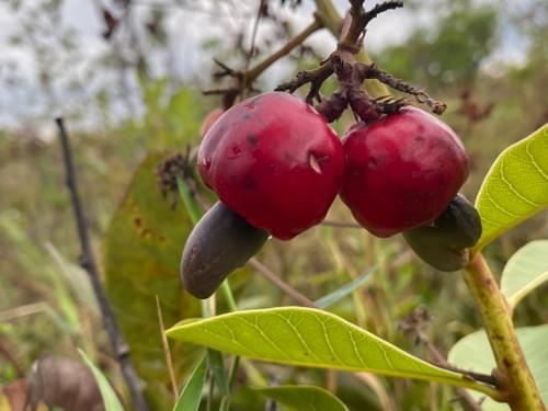Cajuzinho Vermelho ( Anacardium humile _Anacardiaceae )