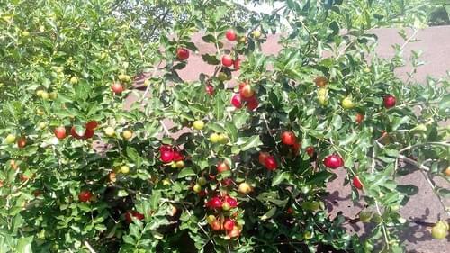 """Sweet Acerola """"Cabocla o CMF 040"""" ( Malpighia emarginata )"""