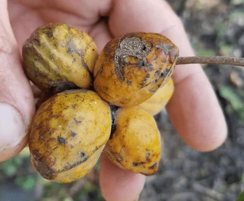 5 Sapranthus campechianum seeds