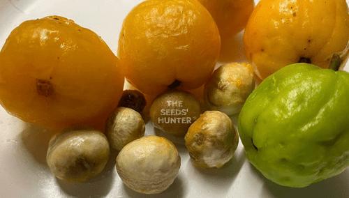 5 monos plum seeds ( Pseudanamomis umbellulifera )