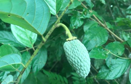 Annona neoinsignis