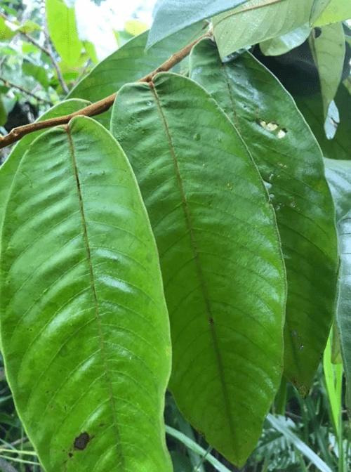 Araticum doce do Acre ( Annona sp Acre )