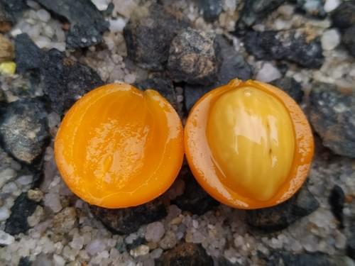 Odontocarya acuparata