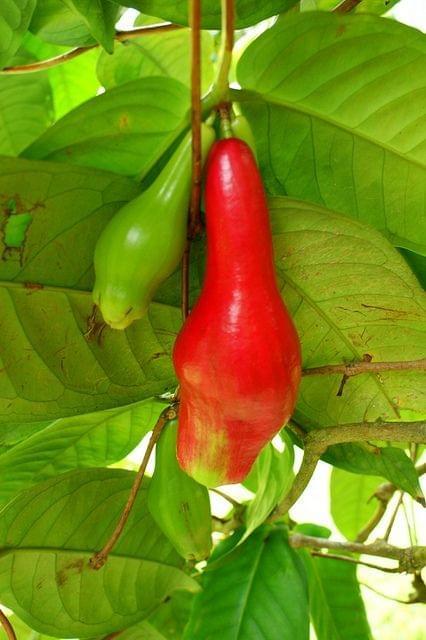 Giant Laulau ( Syzygium Megacarpa )