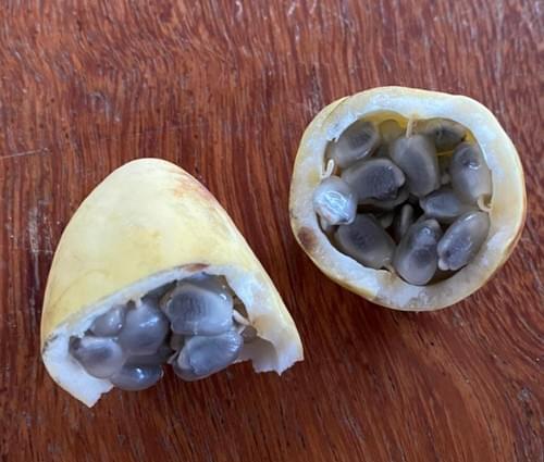 Passiflora ovalis