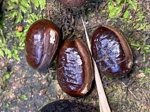 "Sarcaulus sp "" Paraty"" ( Sapotaceae )"