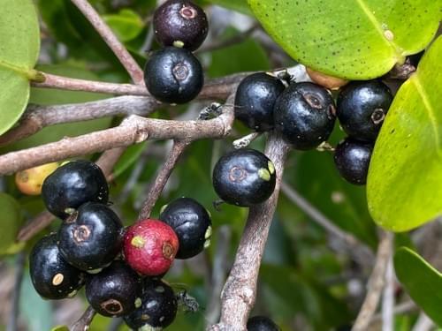 Murta Da Restinga ( Eugenia aff.  ilhensis_Myrtaceae )