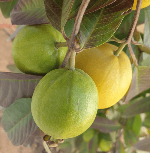 "Guava var "" Orange pulp "" (Psidium guajava var "" Orange pulp )"
