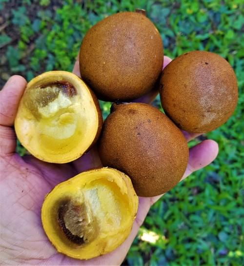 Kepel Fruit ( Stelechocarpus burahol )