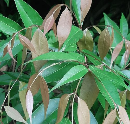 Eugenia sp Ciriguela _Myrtaceae