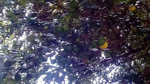 Cuban Mangosteen  ( Garcinia Aristata)