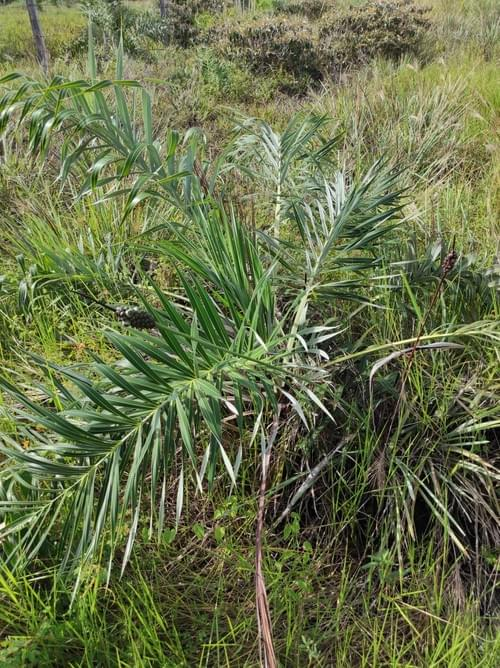 seashore palm ( Allagoptera arenaria )