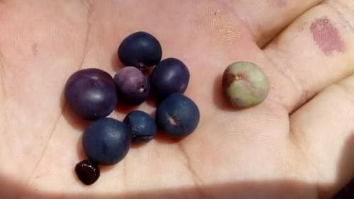 5 Plinia punctata seeds